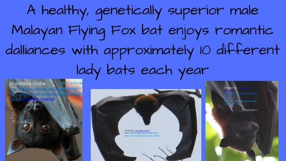 A healthy, genetically superior male Malayan Flying Fox bats enjoys romantic dalliances with approximately 10%
